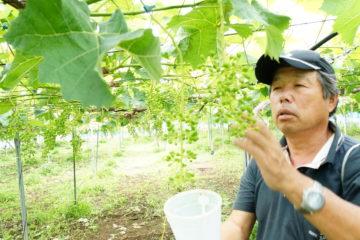 久家ぶどう園収穫作業④